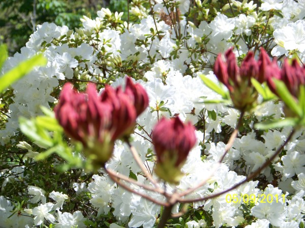 White and red blossoms.
