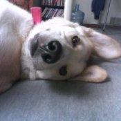White dog laying on side