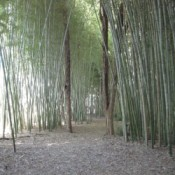 A bamboo forest in Cherokee, NC