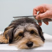 Cute terrier being combed.