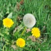 Dandelion in the grass.