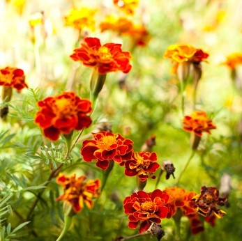close up of marigold field