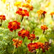 close up of marigold field