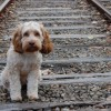 Cocker Spaniel on railroad tracks