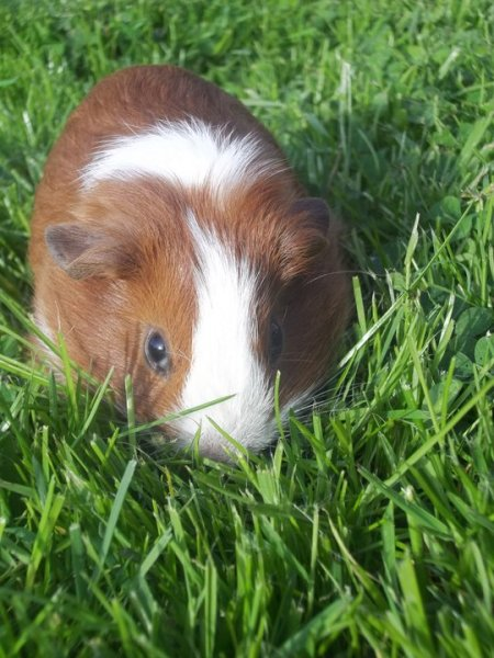 Brown and White guinea pig on the lawn