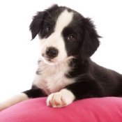 photo of a black and white puppy