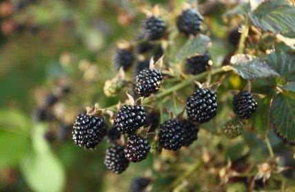 Getting Rid Of Blackberry Bushes Thriftyfun