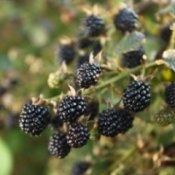 Photo of blackberries on the vine.
