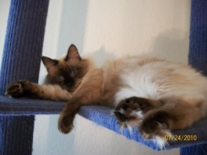 Seal point Siamese cat on blue cat tree.