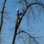 Tree trimmer up in a tree, cutting it down.