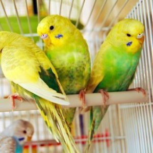 Yellow birds in a cage.