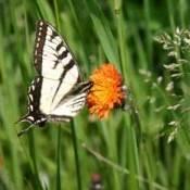 photo of a butterfly on an orange flower