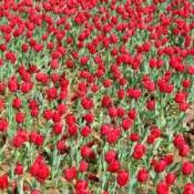 A field of red tulips.