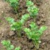 Celery new growth