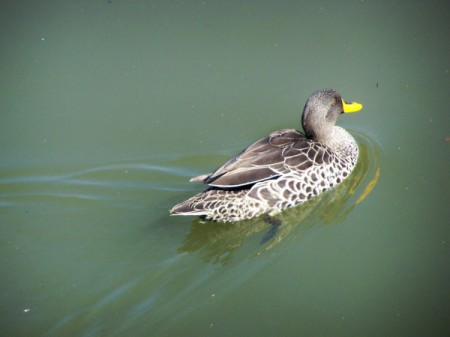 Duck floating on water