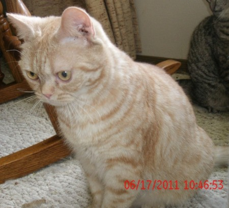 A red - silver American Shorthair spotted tabby. kitten