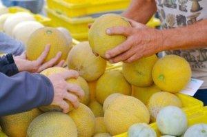 Selecting Cantaloupe at a farmers market