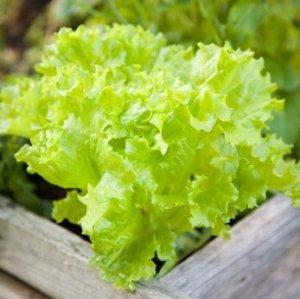 Lettuce growing in a box.