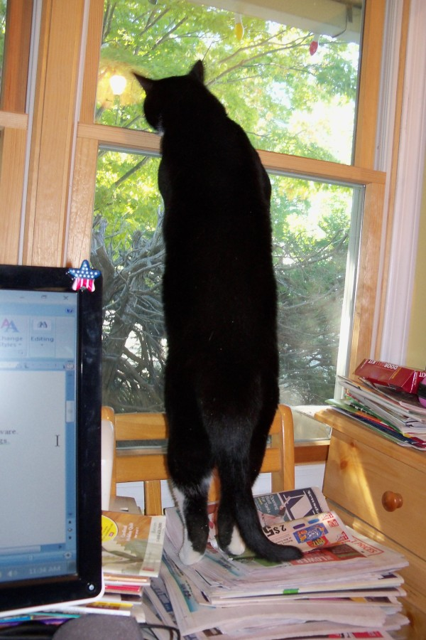 Tuxedo Cat Looking out Window on Magazines