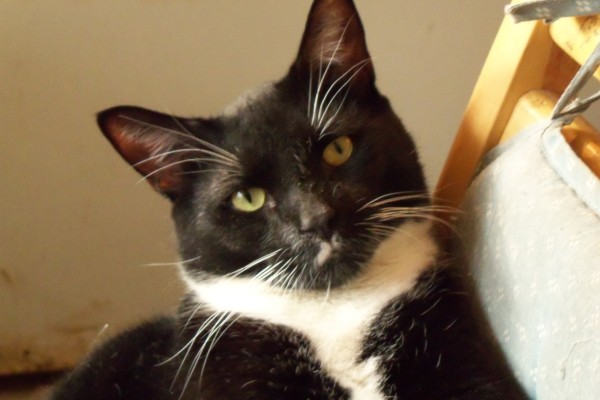 Tuxedo Cat Front