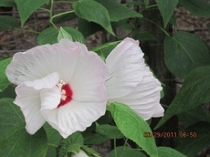 White hibiscus blooms.