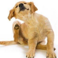 Puppy scratching.