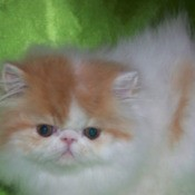 Adorable white and brown Persian