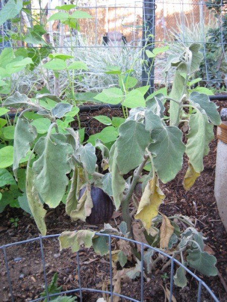 Eggplant leaves are drooping and turning brown.
