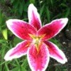 A pink and white lily blossom.