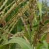 Bees on corn tassles