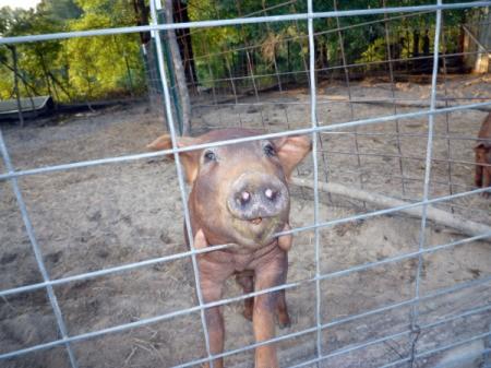 Porque the Pig