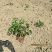 Shadow of person taking photo of pepper plants with brown leaves on ground.