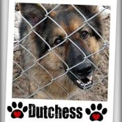 A German Shepard behind a chain link fence