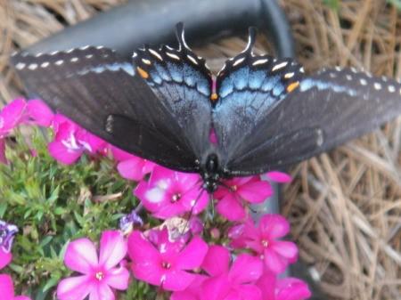 Butterfly on Phlox