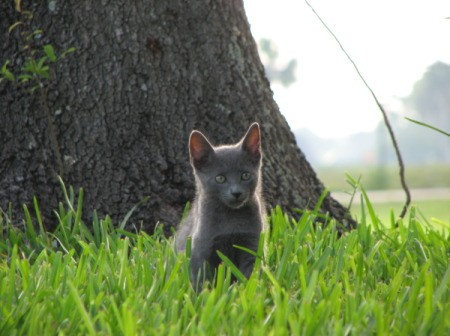 Baby Cat Russian Blue