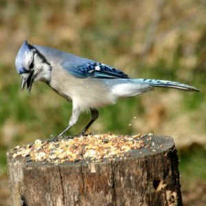 Saving Money on Wild Birdseed, Blue Jay standing on a tree stumo eating birdseed