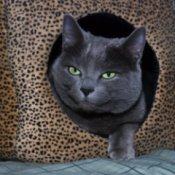 Grey cat peeking out from a leopard print cat bed.