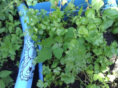 Cilantro growing in a child's wading pool.