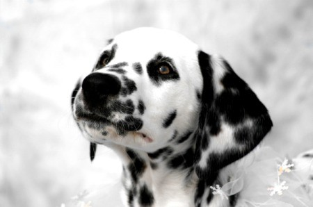 Raleigh Dalmatian Snowflake