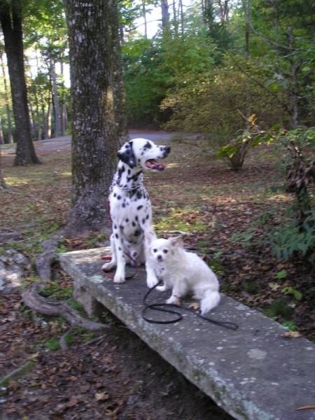 Raleigh Dalmatian in Park