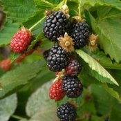 Blackberries ripening on a vine.
