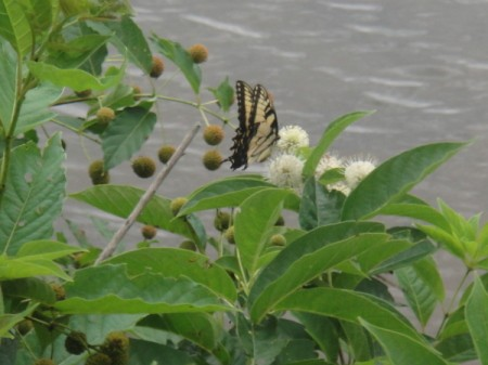 Butterfly at Hartwell Lake