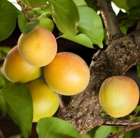 Apricots hanging on the tree.
