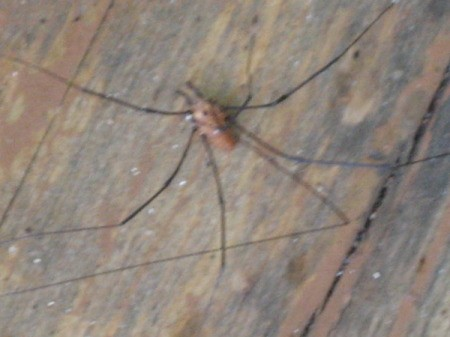 Long legged spider on deck wood.