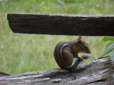 Chipmunk grooming on log