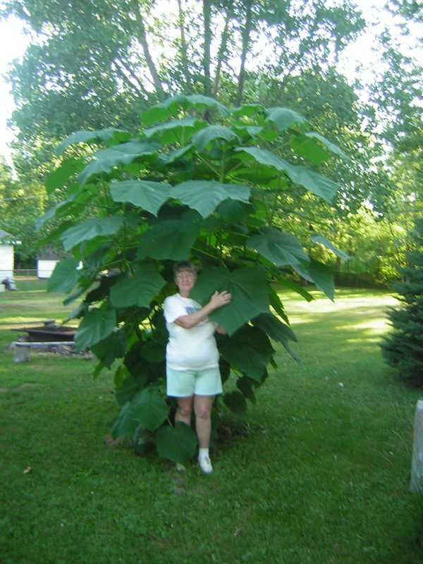 Member standing backed into plant. Gives good perspective of relative size of plant and leaves. The plant is twice her height.