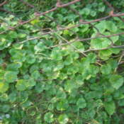 Low growing ground cover with round leaves.