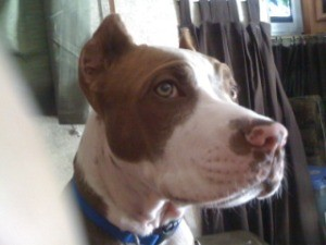 Closeup of male pit bull puppy, white with dark markings around eyes.