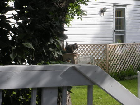 Squirrel eating from a squirrel feeder.