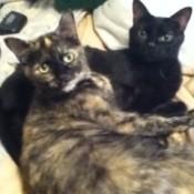 Shyanne & Skeeter Short Hair Cats